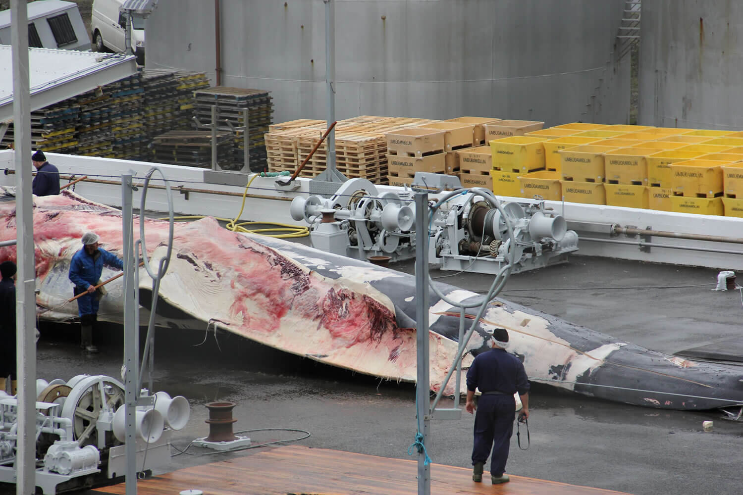 Iceland shipment to Japan could contain meat from rare hybrid whales