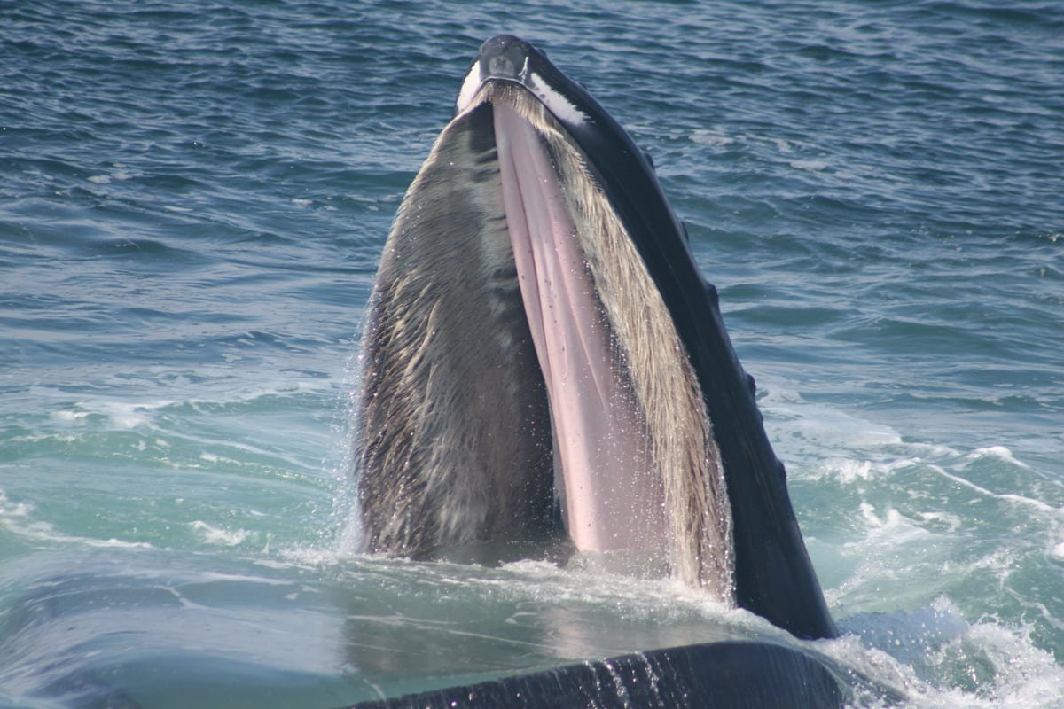 Fossil of new extinct baleen whale discovered in New Zealand