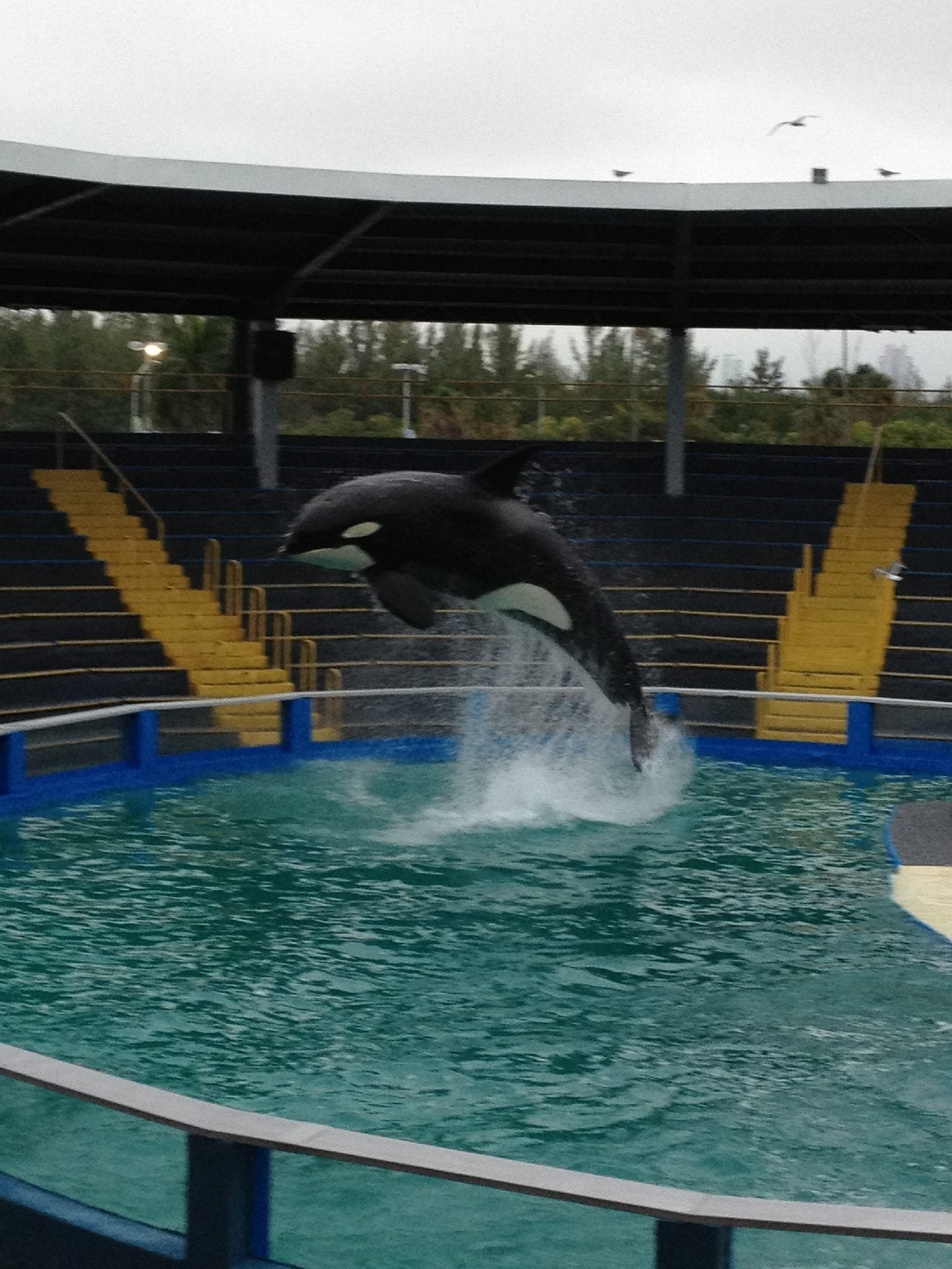 Federal appeals court rejects petition to reopen case for captive-held orca Tokitae