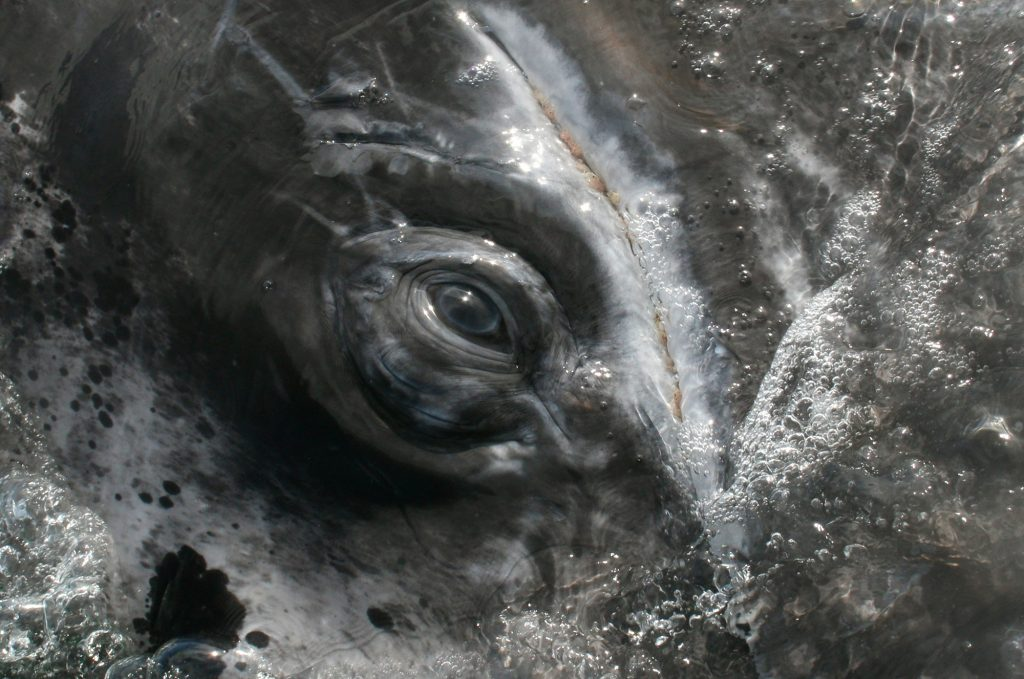 gray-whale-eye-lucy-molleson