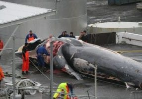 fin-whale-iceland-wdc